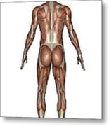Anatomy Of Male Muscular System, Back Metal Print