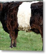 Ancient Breed Belted Galloway Metal Print