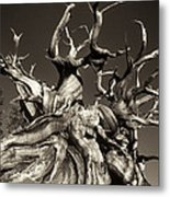 Ancient Bristlecone Pine In Black And White Metal Print