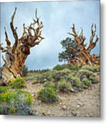 Ancient Bristlecone Pine Trees Metal Print
