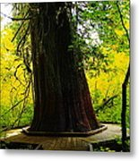 Ancient Old Growth Metal Print
