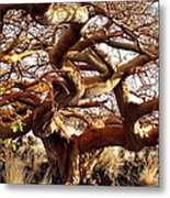 Ancient Wiliwili Tree Metal Print