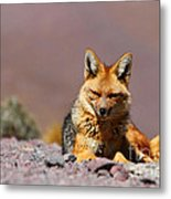Andean Fox Portrait Metal Print