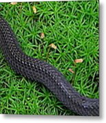 Anerythristic Red Belly Snake Metal Print