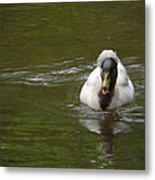 Angry Crested Duck Metal Print