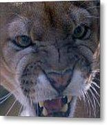 Angry Florida Panther Metal Print