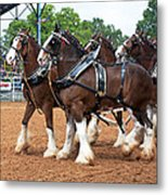 Anheuser Busch Budweiser Clydesdale Horses In Harness Usa Rodeo Metal Print