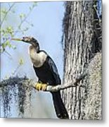 Anhinga And Spanish Moss Metal Print