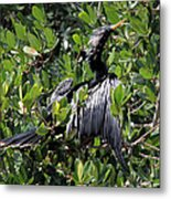 Anhinga Male Metal Print