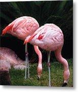 Animal - Flamingo - A Set Of Flamingoes Metal Print