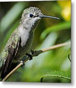 Anna Hummingbird Metal Print