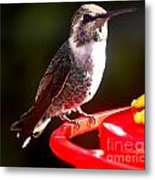 Anna's Hummingbird On Perch Metal Print