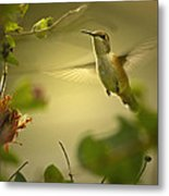 Rufus  Humming Bird  Metal Print