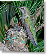 Annas Hummingbird With Young Metal Print