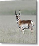 Antelope Buck Metal Print
