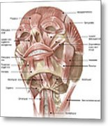 Anterior Neck And Facial Muscles Metal Print
