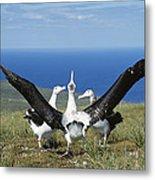 Antipodean Albatross Courtship Display Metal Print by Tui De Roy