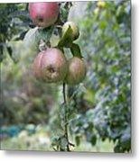 Apple Tree In Allotments In Utrecht Netherlands Metal Print