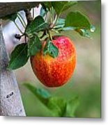 Apples Hanging In The Orchard Metal Print
