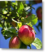 Apples On Tree Metal Print