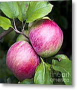 2 Apples On Tree Metal Print