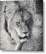 Approaching Lion Metal Print