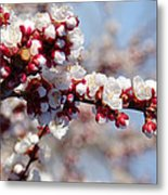 Apricot Blossoms Popping Metal Print