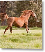 Arabian Horse Running Free Metal Print