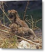 Arabian Leopard Panthera Pardus Cubs Metal Print