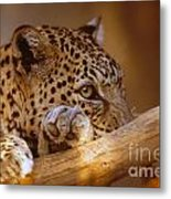 Arabian Leopard Panthera Pardus Metal Print