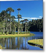 Araucaria Forest Chile Metal Print
