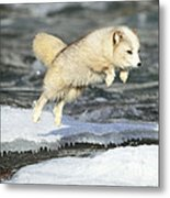 Arctic Fox Jumping Metal Print