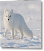 Arctic Fox Out On The Pack Ice Metal Print