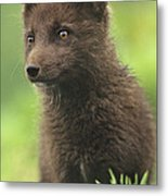 Arctic Fox Portrait Alaska Wildlife Metal Print
