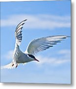 Arctic Tern Sterna Paradisaea In Flight Metal Print