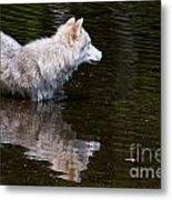 Arctic Wolf In Pond Metal Print