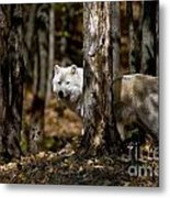 Arctic Wolf Picture 242 Metal Print