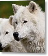 Arctic Wolf Picture 247 Metal Print