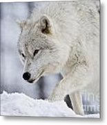 Arctic Wolf Pictures 1054 Metal Print