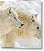 Arctic Wolf Pictures 1081 Metal Print