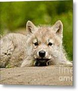 Arctic Wolf Pictures 1118 Metal Print
