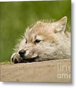 Arctic Wolf Pictures 1121 Metal Print