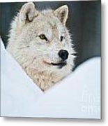 Arctic Wolf Pictures 1144 Metal Print