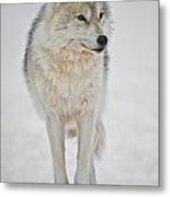 Arctic Wolf Pictures 1146 Metal Print