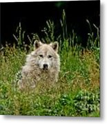 Arctic Wolf Pictures 1172 Metal Print