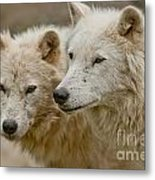 Arctic Wolf Pictures 1174 Metal Print