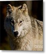 Arctic Wolf Pictures 1224 Metal Print