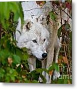 Arctic Wolf Pictures 1228 Metal Print