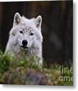 Arctic Wolf Pictures 208 Metal Print