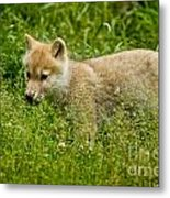 Arctic Wolf Pictures 341 Metal Print